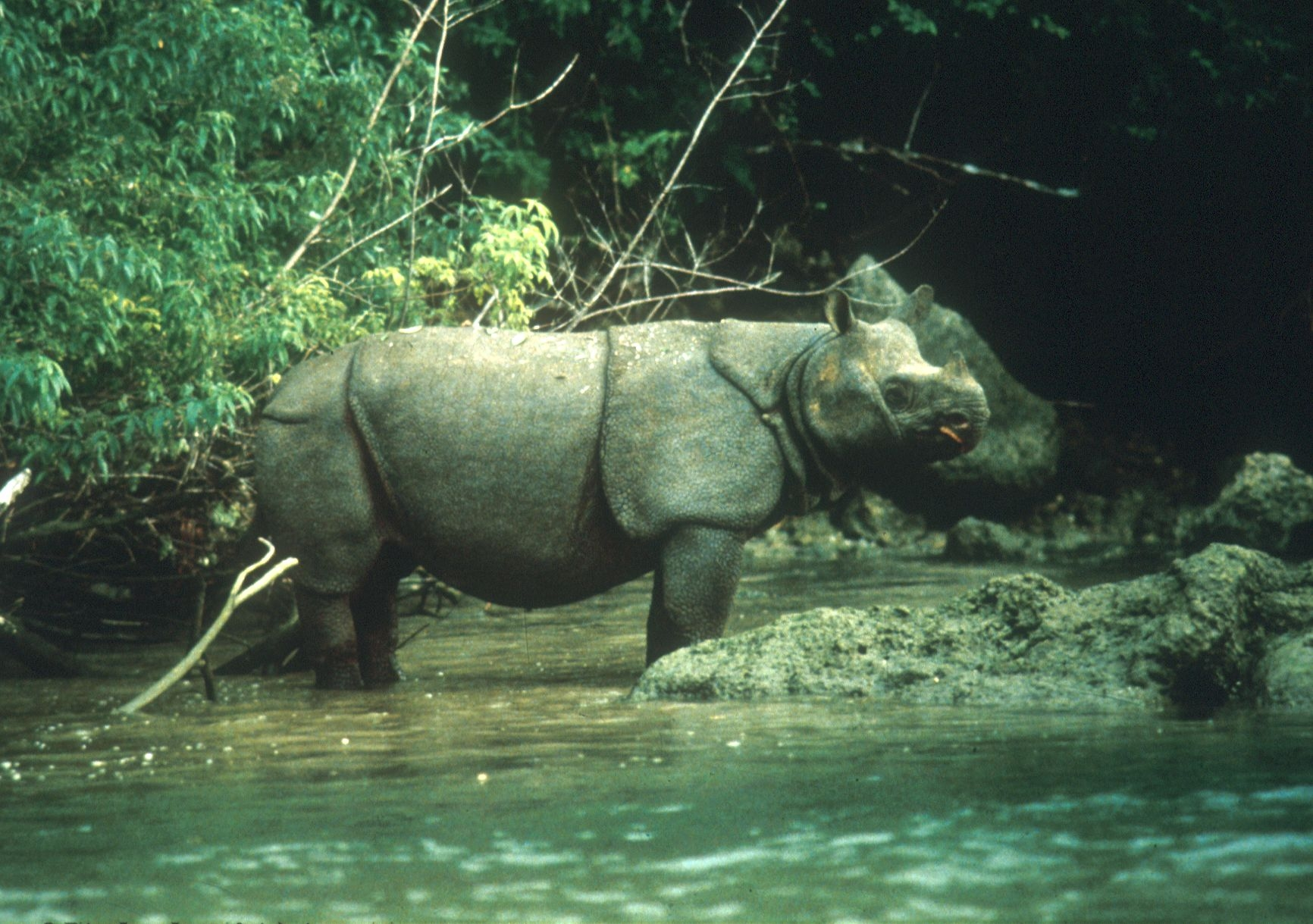 Badak Jawa di Taman Nasional Ujung Kulon