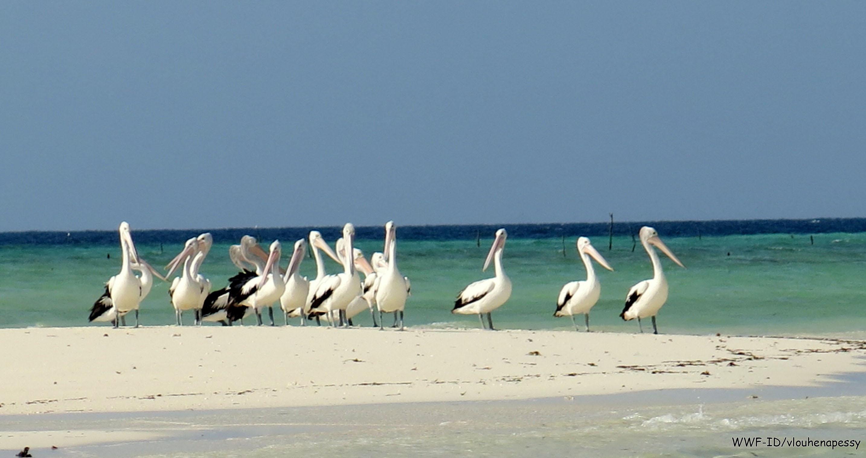 Burung Pelikan Australia di Pulau Ngur Tafur